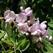 Robinia neomexicana - Photo (c) Jay Keller, todos os direitos reservados, uploaded by Jay L. Keller