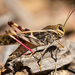 Australian Yellow-winged Locust - Photo (c) Andrew Geschke, all rights reserved