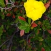 Cutleaf Hibbertia - Photo (c) harristotle, all rights reserved