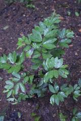 Cynometra bauhiniifolia image