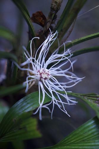 Dicranopygium crinitum image