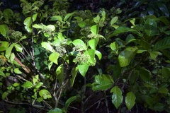 Chimarrhis parviflora image