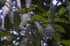 Amaioua corymbosa image