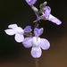 Toadflax - Photo (c) Philip Bouchard, some rights reserved (CC BY-NC-ND)
