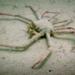 Leurocyclus tuberculosus - Photo (c) Uriel Sokolowicz Porta - ALEPH, todos los derechos reservados