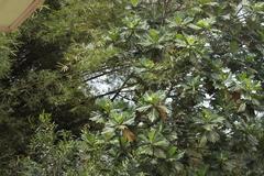 Artocarpus altilis image