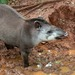 Tapir Amazónico - Photo (c) Patricia Mancilla Iglesias, todos los derechos reservados