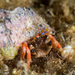 Laurent's Hermit Crab - Photo (c) David R, some rights reserved (CC BY-NC)