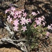 Cold Desert Phlox - Photo (c) Tim Crawford, all rights reserved