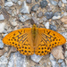 Silver-washed Fritillary - Photo (c) Stefan Kunz, all rights reserved