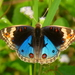 Blue Argus - Photo (c) lenachow, all rights reserved