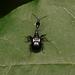 Cycnotrachelus cyanopterus - Photo (c) WonGun Kim, todos los derechos reservados