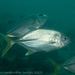 Bigeye Trevally - Photo (c) Deb Aston, all rights reserved
