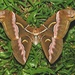 Lesser Atlas Moth - Photo (c) Roger C. Kendrick, all rights reserved, uploaded by Roger Kendrick
