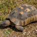 Marginated Tortoise - Photo (c) Ed Fulton, all rights reserved