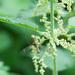 Tipula fascipennis - Photo (c) Tig, todos los derechos reservados