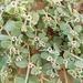 Euphorbia leucophylla comcaacorum - Photo (c) Holly Boom, todos los derechos reservados