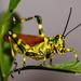Chromacris speciosa - Photo (c) josepayares, όλα τα δικαιώματα διατηρούνται