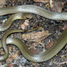Black-bellied Swamp Snake - Photo (c) Patrick  Campbell, all rights reserved, uploaded by Patrick Campbell