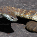 Eastern Tiger Snake - Photo (c) Patrick  Campbell, all rights reserved, uploaded by Patrick Campbell