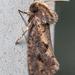 Grass Tubeworm Moths - Photo (c) Sergei Drovetski, all rights reserved