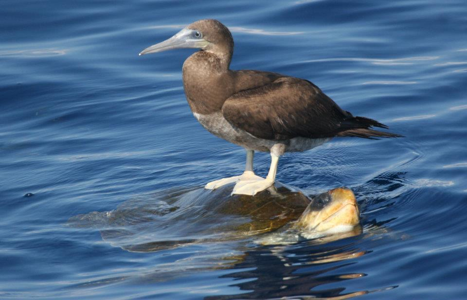 a brown booby riding on a green sea turtles back