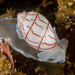 Red-lined Bubble Snail - Photo (c) Ian Shaw, all rights reserved