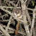 Grey-brown Mouse Lemur - Photo (c) brandonp, all rights reserved, uploaded by Brandon Semel