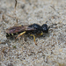 Crabro scutellatus - Photo (c) Henk Wallays, all rights reserved