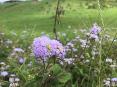 Ageratum conyzoides image