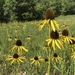 Yellow Coneflower - Photo (c) greynolds, all rights reserved