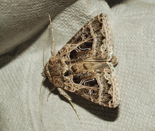 Cabbage Looper Moth (Trichoplusia ni) · iNaturalist org