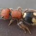 Hormigas de Terciopelo - Photo (c) Carsten Titlbach, todos los derechos reservados