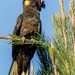 Yellow-tailed Black-Cockatoo - Photo (c) andrew_mc, all rights reserved
