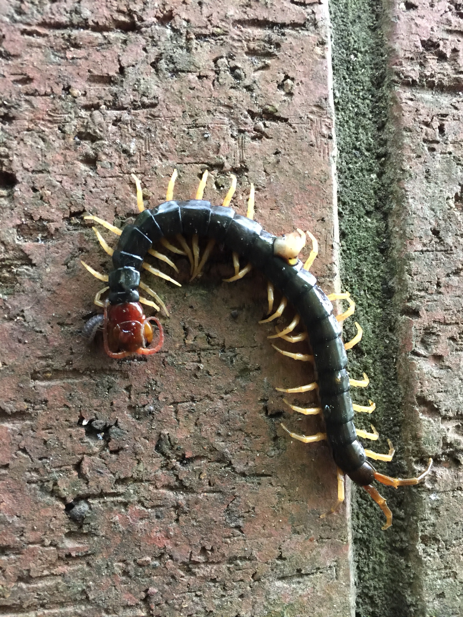 Chinese Red-headed Centipede (Subspecies Scolopendra