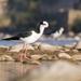 Chilenpitkäjalka - Photo (c) cesar pizarro rios, kaikki oikeudet pidätetään