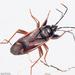 Eremocoris fenestratus - Photo (c) Valter Jacinto, todos los derechos reservados