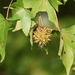 American Sweetgum - Photo (c) Tony Alter, some rights reserved (CC BY)