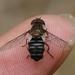 Betasyrphus serarius - Photo (c) WonGun Kim, todos los derechos reservados