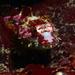 Artedius lateralis - Photo (c) Kieran Cox, כל הזכויות שמורות