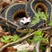 Eastern Garter Snake - Photo (c) fm5050, all rights reserved, uploaded by fm5050