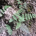Cooper's Lip Fern - Photo (c) barbarab, all rights reserved, uploaded by barbarab