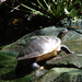 Peninsular Cooter - Photo (c) mikevanvalen, all rights reserved, uploaded by Mike VanValen