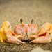 Gulf Ghost Crab - Photo (c) Elí García-Padilla, all rights reserved