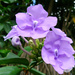 Brunfelsia pauciflora - Photo (c) Abbey Coleman, kaikki oikeudet pidätetään