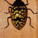 Erotylina nicaraguae - Photo (c) Andrey Peraza, todos los derechos reservados