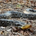 Reticulated Python - Photo (c) Mark Wright, all rights reserved