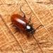 Phygasia fulvipennis - Photo (c) WonGun Kim, todos los derechos reservados