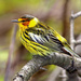 Cape May Warbler - Photo (c) Irv, all rights reserved