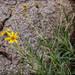 Zexmenia buphtalmiflora - Photo (c) RAP, כל הזכויות שמורות
